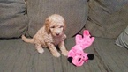 Golden Retriever-Poodle (Miniature) Mix Puppy For Sale in NORTH LIBERTY, IN, USA