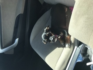 Chiweenie Mix Puppy For Sale in METAIRIE, LA, USA