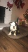 Bulldog Puppy For Sale in WOODLAND, CA,