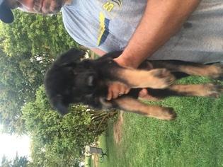 German Shepherd Dog Puppy For Sale in WILLIAMSPORT, OH