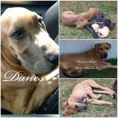 Mother of the Great Dane puppies born on 01/17/2019