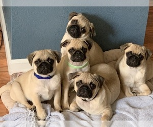 Pug Puppy for sale in ROHNERT PARK, CA, USA