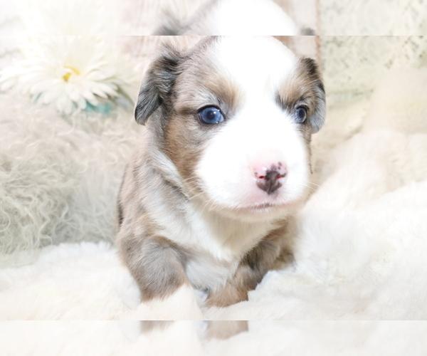 Medium Photo #11 Australian Shepherd Puppy For Sale in STAFFORD, VA, USA