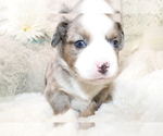 Small Photo #11 Australian Shepherd Puppy For Sale in STAFFORD, VA, USA