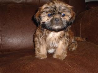 Shih Tzu Puppy For Sale in MYRTLE BEACH, SC