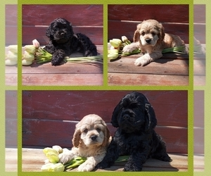 Cocker Spaniel Puppy for sale in CARLYLE, IL, USA