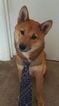 Shiba Inu Puppy For Sale in PONTE VEDRA BEACH, FL