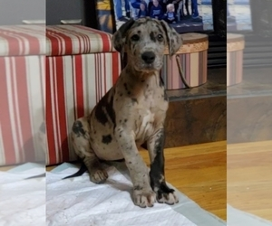 Great Dane Puppy for Sale in LYERLY, Georgia USA