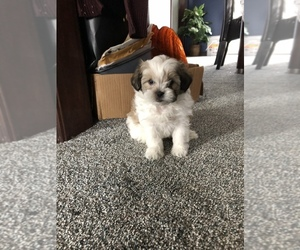 Zuchon Puppy for sale in RADNOR, OH, USA