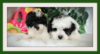 Puppyfinder com: Maltipoo puppies puppies for sale near me