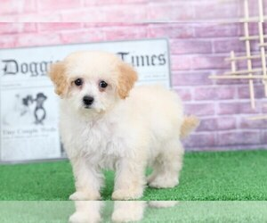Poochon Puppy for Sale in BEL AIR, Maryland USA