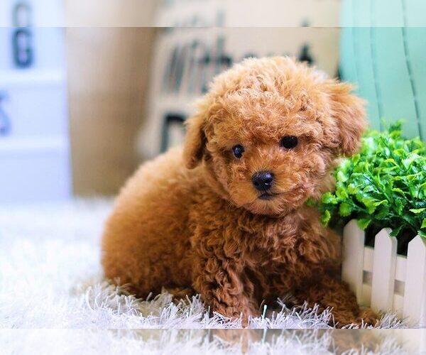 Poodle (Miniature) puppy