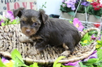 Yorkshire Terrier Puppy For Sale in FARMINGTON, MO, USA