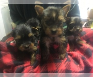 Yorkshire Terrier Puppy for sale in CANONSBURG, PA, USA