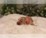 Small #1 Australian Labradoodle