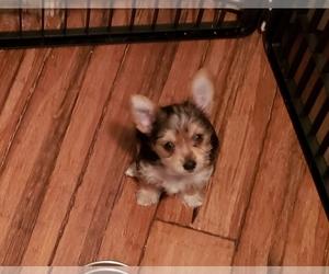 Yoranian-Yorkshire Terrier Mix Puppy for sale in HUDDLESTON, VA, USA