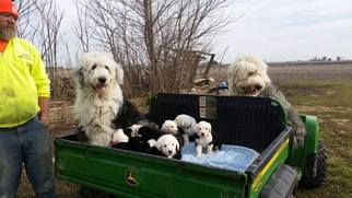 Old English Sheepdog Puppy for sale in HOMER, IL, USA