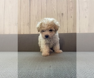Maltipoo Dog for Adoption in SACRAMENTO, California USA