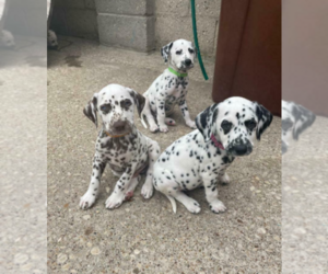 Dalmatian Puppy for sale in LEMOORE, CA, USA