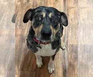 Catahoula Leopard Dog-Rottweiler Mix Dog for Adoption in MBORO, Tennessee USA