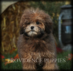ShihPoo Puppy for sale in COPPOCK, IA, USA