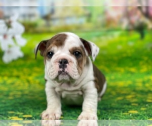 Bulldog Puppy for sale in POWHATAN, VA, USA