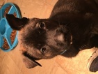 Belgian Malinois-Dutch Shepherd Dog Mix Puppy For Sale in COSHOCTON, OH, USA