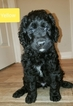 Goldendoodle Puppy For Sale in APACHE JCT, Arizona,