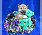 Puppy 3 Shiba Inu