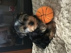 Yorkshire Terrier Puppy For Sale in KNOB NOSTER, MO, USA