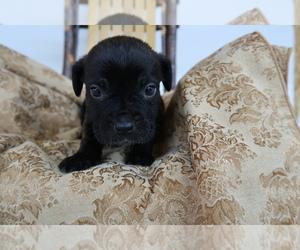 Cane Corso Puppy for sale in KOKOMO, IN, USA