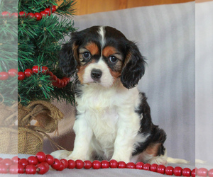 Cavalier King Charles Spaniel Puppy for Sale in NARVON, Pennsylvania USA