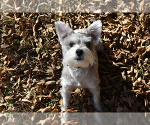 Schnauzer (Miniature) Puppy for Sale in CONCORD, Tennessee USA