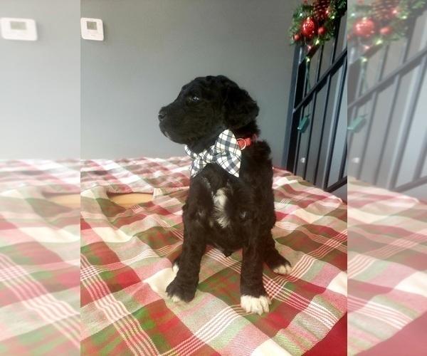 Medium Photo #3 Poodle (Standard) Puppy For Sale in ROGERSVILLE, AL, USA