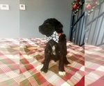 Small Photo #3 Poodle (Standard) Puppy For Sale in ROGERSVILLE, AL, USA