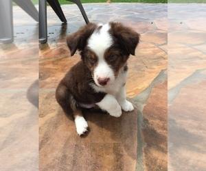 Miniature Australian Shepherd Puppy for sale in RICHMOND, TX, USA