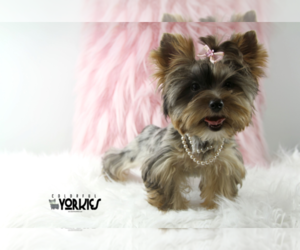 Yorkshire Terrier Dog for Adoption in KELLER, Texas USA