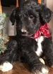 CKC registered Aussiedoodle