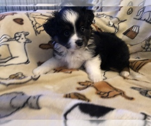 Miniature Australian Shepherd Dog for Adoption in GOLDSTON, North Carolina USA