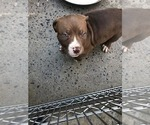 Puppy 7 American Pit Bull Terrier