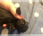 Small Photo #2 Schnauzer (Miniature) Puppy For Sale in MICHIGANTOWN, IN, USA