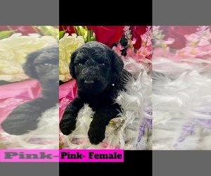 Poodle (Standard) Puppy for Sale in MAINEVILLE, Ohio USA