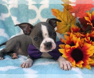 Boston Terrier Puppy for sale in CEDAR LANE, PA, USA