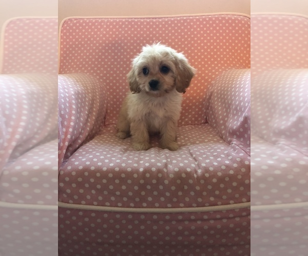 View Ad: Cavachon Puppy for Sale near Tennessee, KNOXVILLE
