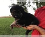 Small #39 German Shepherd Dog