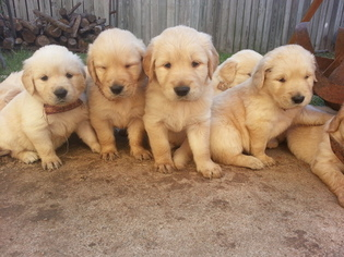 Golden Retriever Puppy For Sale in KATY, TX