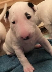 AKC Registered ENGLISH BULL TERRIER PUPPIES