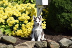 Siberian Husky Puppy For Sale in FREDERICKSBURG, OH,