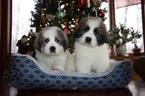 Great Pyrenees Puppies Livestock Guardians