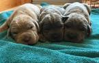 Neapolitan Mastiff Puppy For Sale in WEST POINT, IA